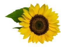 Słonecznik z liśćmi odizolowywającymi na białym tle zdjęcia royalty free