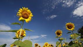 Słonecznik z niebem zbiory