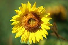 Słonecznik z niebieskim niebem i pięknym słońcem Obrazy Stock