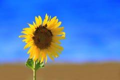 Słonecznik z niewiadomymi ścigami Zdjęcia Royalty Free