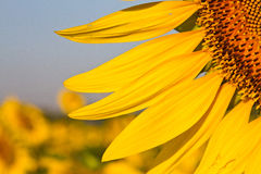 Słonecznik z pięknym tłem. Zdjęcie Royalty Free