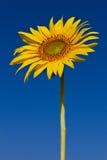 Słonecznik z pięknym tłem. Fotografia Royalty Free