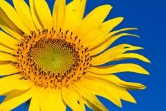 Słonecznik z pięknym tłem. Obrazy Royalty Free
