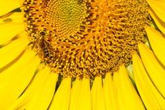 Słonecznik z pięknym tłem. Zdjęcia Stock