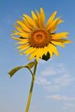 Słonecznik z pięknym tłem. Zdjęcie Stock