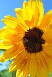 Słonecznik z pszczołą Obraz Royalty Free