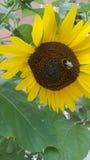Słonecznik z pszczołą Obrazy Royalty Free