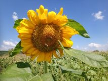 Słonecznik z pszczołą w Rumuńskiej wsi zdjęcia royalty free