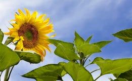 Słonecznik z pszczołami obrazy stock