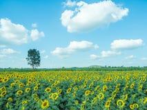 Słonecznik z słonecznika niebieskim niebem i polem Zdjęcie Stock