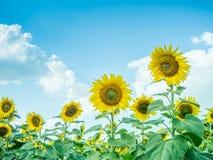 Słonecznik z słonecznika niebieskim niebem i polem Obraz Stock
