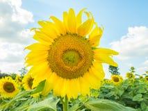 Słonecznik z słonecznika polem i chmura w niebie Obraz Stock