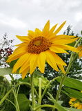 Słonecznik z twarzą Podnosił słońce, moczy up energię Zdjęcia Stock