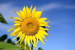 Słonecznik, zakończenie Zdjęcia Royalty Free