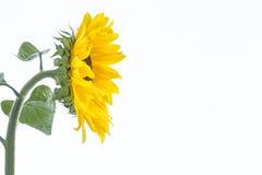Słonecznik Zakończenie odosobniony profilu widok Zdjęcie Stock