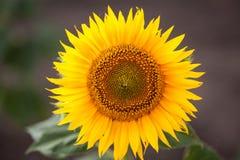 Słonecznik, zakończenie up Zdjęcia Royalty Free