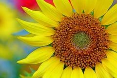 Słonecznik zamknięty w górę szczegółów fotografia royalty free