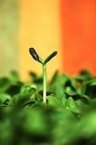 Słonecznik zieleń Zdjęcie Stock