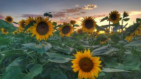 słonecznika śródpolny boczny widok obraz royalty free