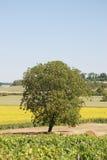 słonecznika śródpolny winnica Obraz Stock