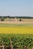 słonecznika śródpolny winnica Zdjęcie Royalty Free