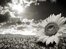 Słonecznika śródpolny wizerunek Zdjęcia Stock