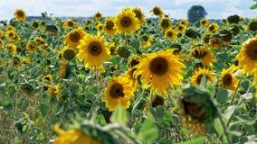 Słonecznika żniwa świeży pole przy wietrznym słonecznym dniem zbiory