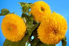 słonecznika gigantyczny hybrydowy sungold Fotografia Royalty Free
