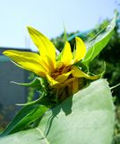 Słonecznika pączek Zdjęcia Stock