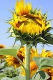 Słonecznika pączek Obrazy Stock