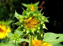 Słonecznika pączek Obraz Stock
