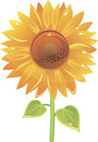 słonecznika piękny wektor Obraz Stock