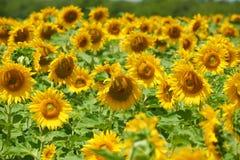 Słonecznika pole, żółty kwiatu zbliżenie, piękny lato krajobraz Zdjęcia Stock