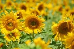 Słonecznika pole, żółty kwiatu zbliżenie, piękny lato krajobraz Fotografia Stock