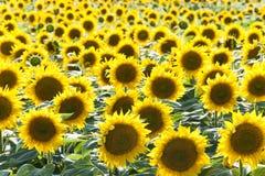 Słonecznika pole Obrazy Stock