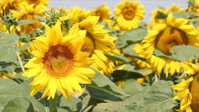 Słonecznika pole zbiory wideo