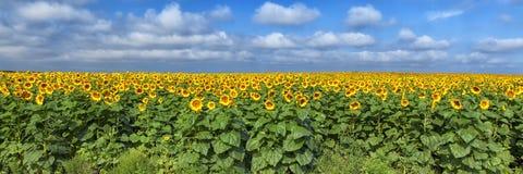 Słonecznika pole
