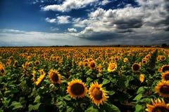 Słonecznika pole, Burgas, Bułgaria Zdjęcie Royalty Free