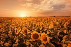 Słonecznika pole, Burgas, Bułgaria Obrazy Stock