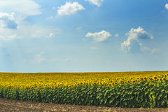 Słonecznika pole na słonecznym dniu Zdjęcia Royalty Free