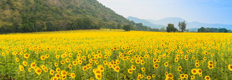 Słonecznika pole nad chmurnym niebieskim niebem i jaskrawymi słońc światłami Obraz Royalty Free