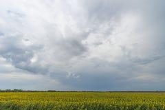 Słonecznika pole po tym jak deszcz, promienie penetruje przez podeszczowych chmur obraz royalty free