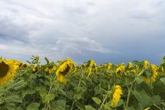 Słonecznika pole po tym jak deszcz, promienie penetruje przez podeszczowych chmur fotografia stock