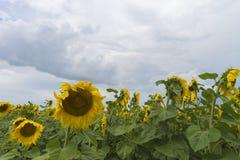 Słonecznika pole po tym jak deszcz, promienie penetruje przez podeszczowych chmur zdjęcie stock