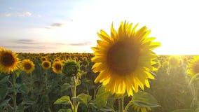 Słonecznika pole podczas zmierzchu, wsi lata krajobraz zdjęcie wideo