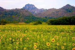 Słonecznika pole przed górą Zdjęcia Royalty Free
