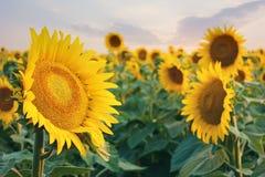 Słonecznika pole przy półmrokiem Zdjęcia Royalty Free