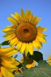 Słonecznika pole przy Saraburi Tajlandia zdjęcie stock