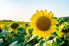 Słonecznika pole przy zmierzchem obraz royalty free