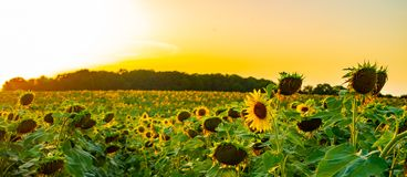 Słonecznika pole przy zmierzchem obrazy royalty free